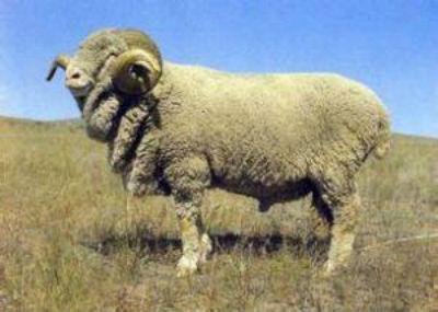 内蒙古半细毛羊介绍及图片