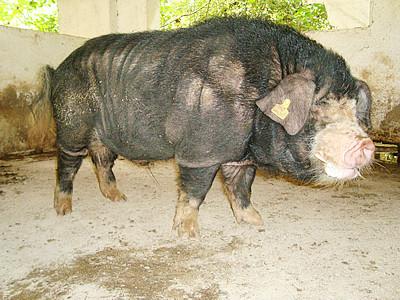 安庆六白猪介绍及图片