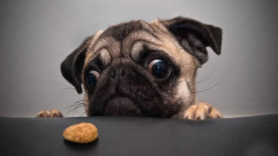 巴哥犬如何训练?