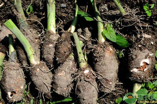 无公害高产芋头栽培管理技术