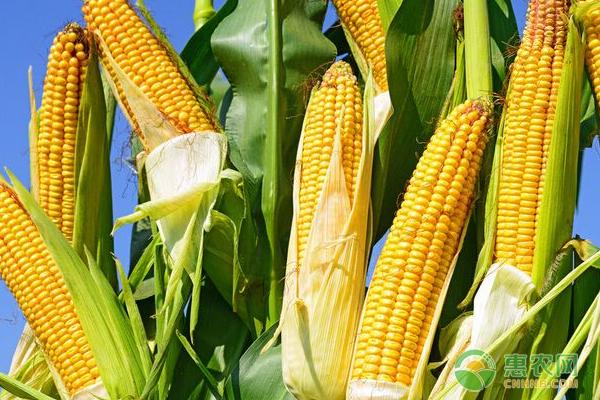 玉米种植怎样防治病虫害?玉米高产种植技术