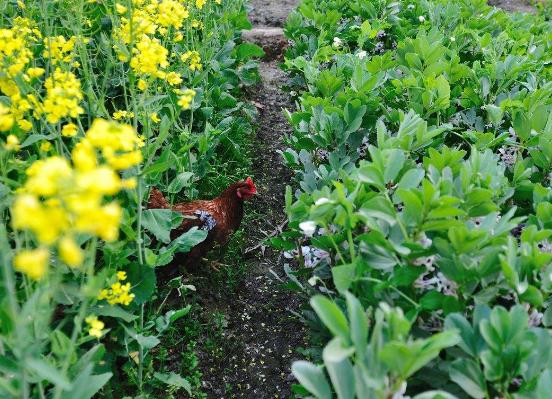 怎样养好土鸡?你应该知道的土鸡养殖技术