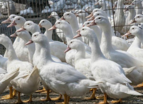 冬季养鸭要注意哪些事项?如何把鸭养好?