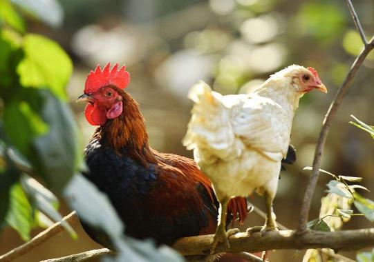 散养柴鸡怎么养?柴鸡养殖和管理