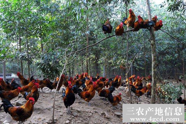 生态放养鸡上栖息架、饮水、喂料的方法