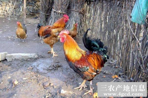 土鸡毛色不全的原因和防治措施