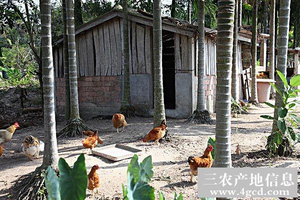 武定鸡的饲养技术及管理要点