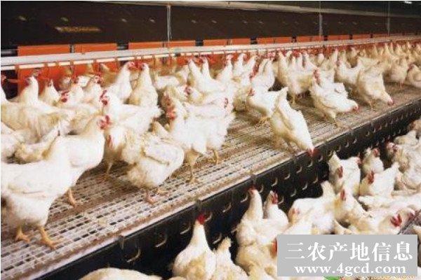 育成期蛋鸡的饲养管理技巧