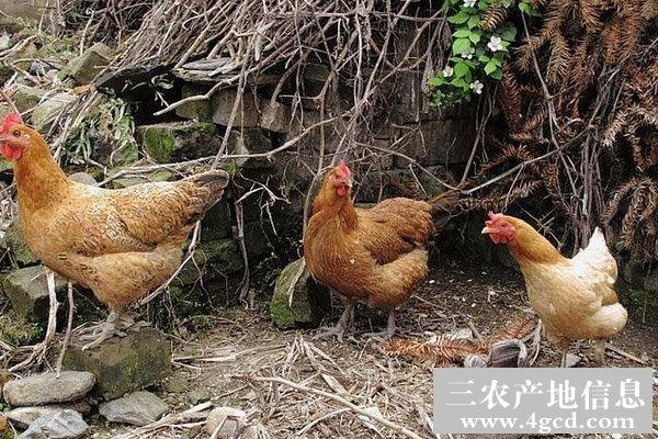 土鸡啄蛋的原因及防治措施