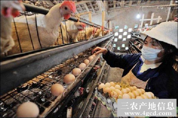 蛋鸡在饲养过程中为什么要补光?补光的事宜包括哪些?