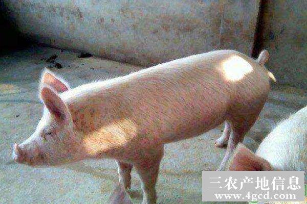 猪圆环病毒病发病特点及预防方法
