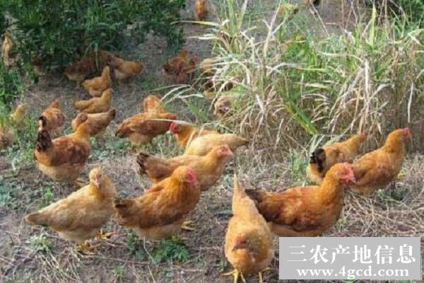 冬季养鸡,如何预防鸡群感冒?