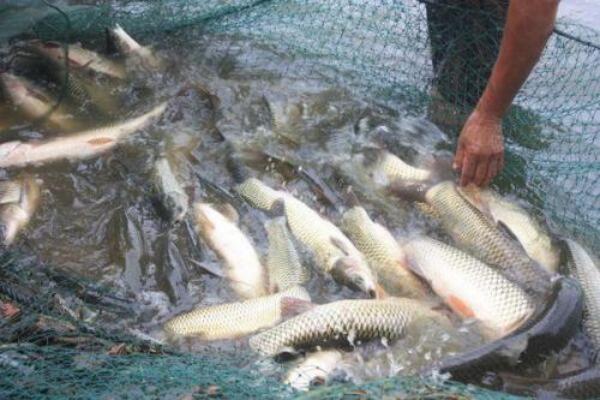 草鱼一年两季高产技术,草鱼养殖前景如何?
