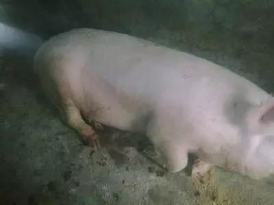 """一文告诉你:规模猪场如何防治""""口蹄疫""""!"""