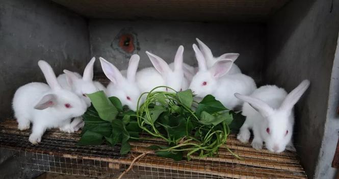 【养兔致富】会养兔,养好兔,程本超养殖肉兔不愁销路,年产值数百万