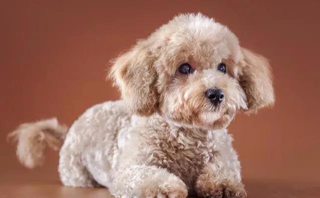 小狗头发皮肤变白该怎么办?