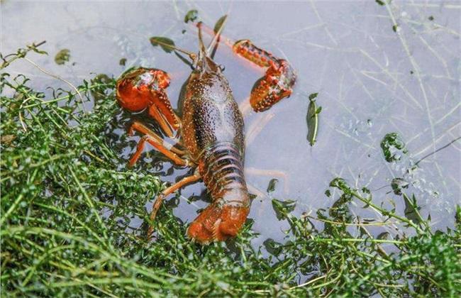 小龙虾吃什么?养殖小龙虾要注意什么?