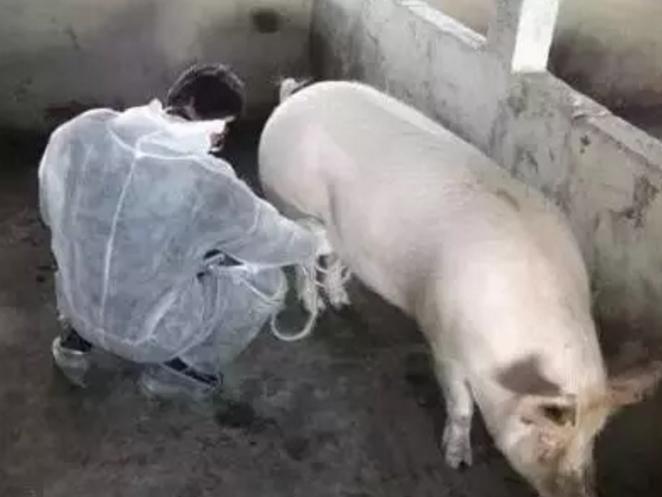 猪场什么样的母猪该淘汰?看完不吃亏!