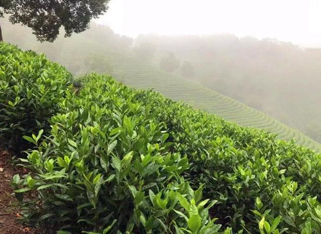 英德茶产业迎来了新机遇 农民生活越来越有盼头