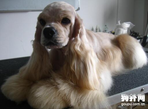 可卡犬美容的方法技巧