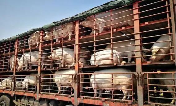 生猪运输也要进入物流时代了!