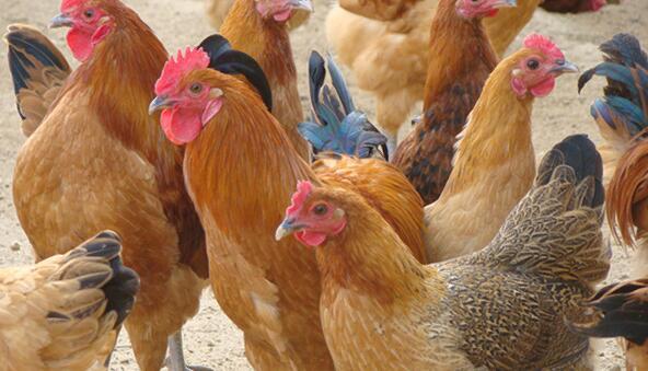 2020年土鸡价格多少钱一斤?林地养土鸡的前景分析