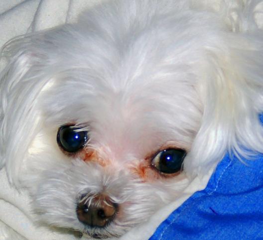 我们家的狗狗有泪痕了,了解这好多个缘故,轻轻松松拿下!