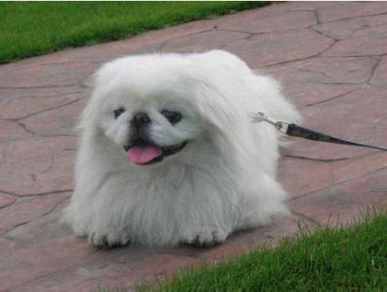 """�楹巍���荻�+性格好""""的京巴犬,非常少有些人�B了?�故���"""