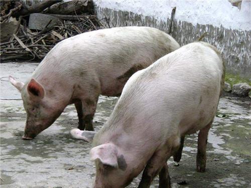 【郑老师说行情】猪价横盘,建议大猪逢高出栏