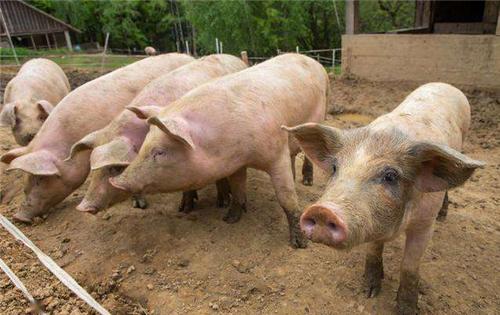关注:9000+新猪场投产,10000+规模猪场复养!