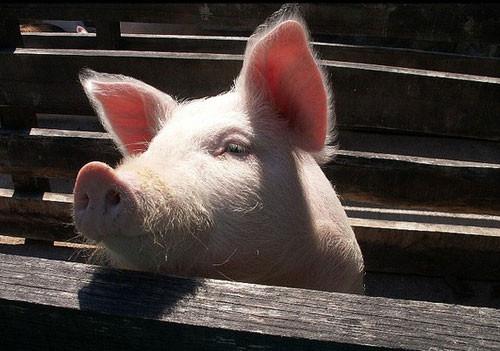 正邦科技拟出资7.6亿新设13家公司,扩大生猪养殖等业务