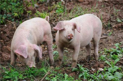 天邦股份:8月底能繁母猪存栏量约31万头