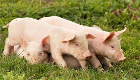 9月是产能释放拐点 猪价开启下行周期?