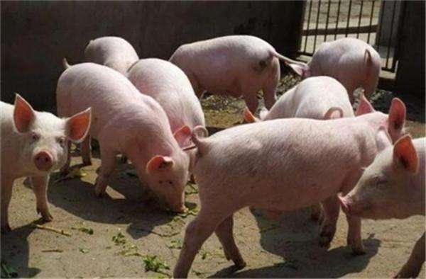 猪肉价格走势跌势汹汹 后市行情又该何去何从?