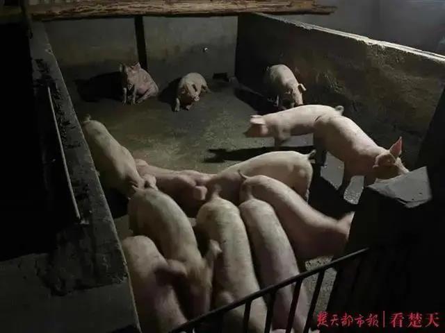 开办养猪场猪仔全靠偷,窃贼落网一言不发,法医给猪做亲子鉴定