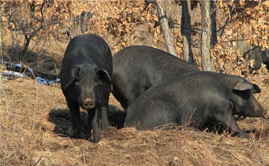 安徽:广德非洲猪瘟无疫小区建设有序