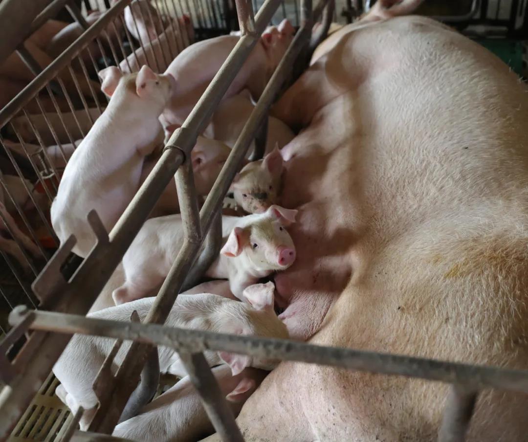 """仔猪也能贷款?青海试点""""仔猪贷"""",分两批扶持养殖场购置40万头仔猪"""