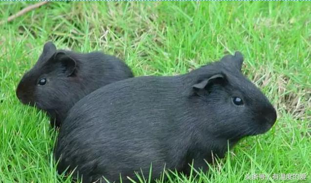 河北可以养殖黑豚