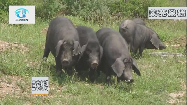 莱芜黑猪养殖条件