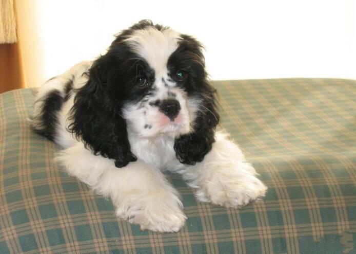 两三个月的可卡幼犬怎么养