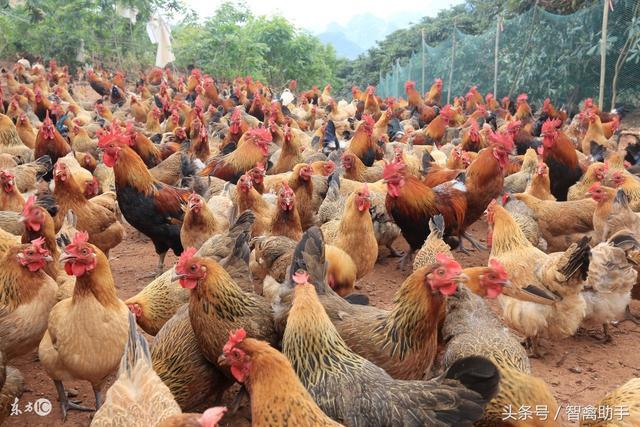 广东惠州蛋鸡养殖企业 蛋鸡养殖