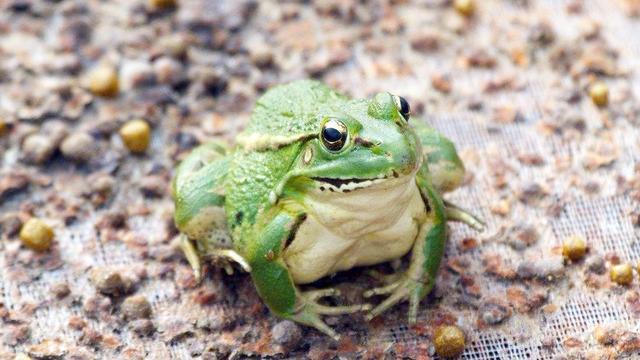河南南阳有养殖青蛙的? 河南青蛙养殖基地