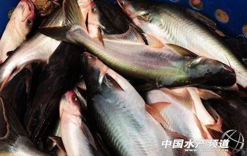 广东四大家鱼养殖密度 四大家鱼养殖每亩密度