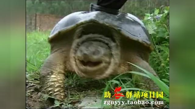 湖北养殖鳄龟基地