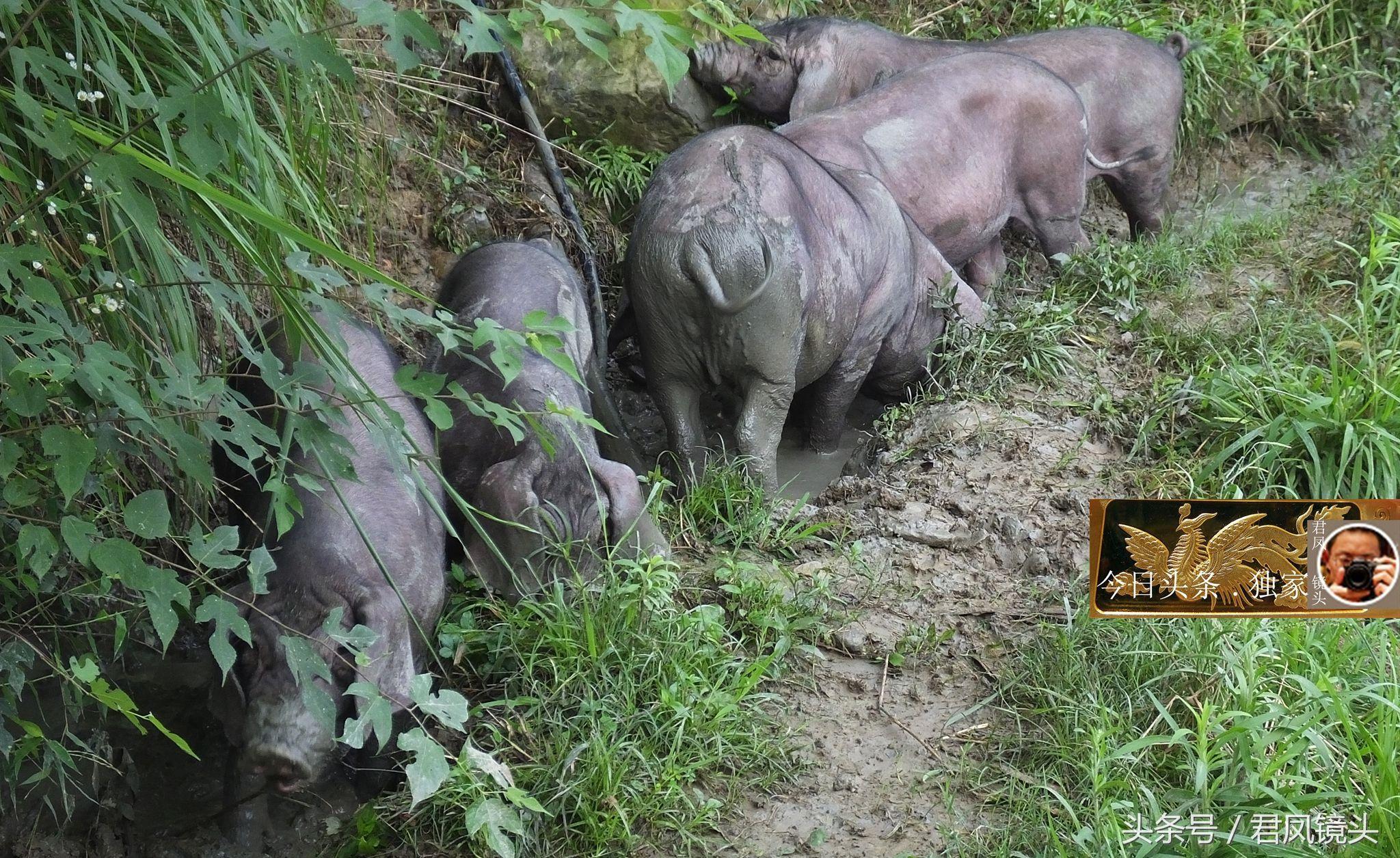 湖北生态黑猪养殖