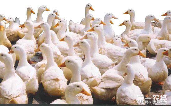 河南肉鸭养殖