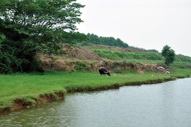 湖南水牛养殖场