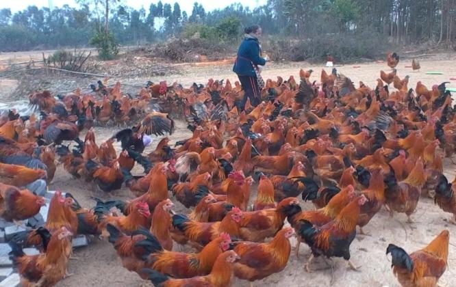 鸡发生气囊炎的原因及防控措施