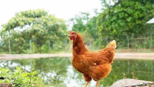 林地养鸡防鹰、蛇、黄鼠狼等的方法