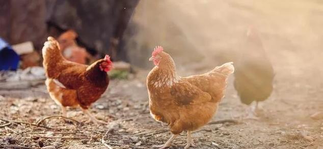 林地养产蛋鸡抱窝催醒的方法
